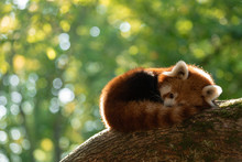 A Red Panda Sleeping In A Tree