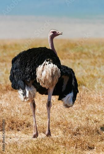 Photo  Male ostrich (Struthio camelus) walks in the savannah.