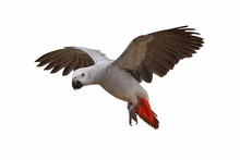 African Grey Parrot Isolated O...