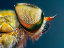 Horsefly, Tabanidae Extreme Marco  Short.