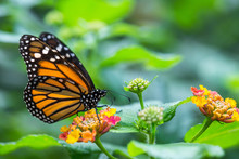 The Monarch Butterfly Or Simpl...