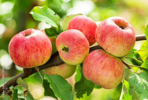 branch of ripe apples on a tree
