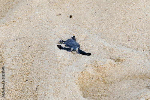 Valokuvatapetti Baby Turtles hatching at Nosy Iranja, Madagascar