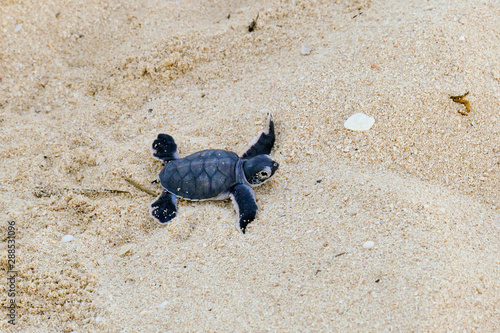 Valokuvatapetti Baby Turtles hatching at Nosy Iranja, Madagascar