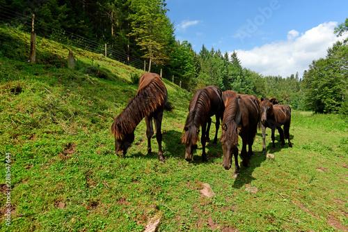 Printed kitchen splashbacks Horses Islandpferde - Icelandic horses