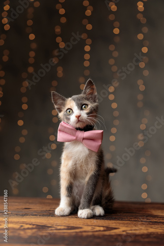 Fotografie, Obraz Metis cat sitting and looking ahead pensive