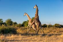 South African Giraffe In Love Preparing To Mating, Bull In On Top Of Female. Chobe National Park, Botswana Safari Wildlife