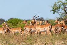 Herd Of Impala Antelopes In Chobe National Park, Botswana Safari , Africa Wildlife