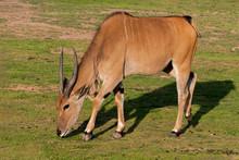 Kafue Flats Lechwe Grazing On Grass
