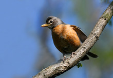 Close Up On American Robin On ...