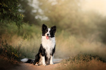 Border Collie Dog Beautiful Po...