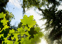 Leaves On A Branch Illuminated By The Sunlight; Vibrant Green Leaves Stand Out Against The Sky And Tree Tops