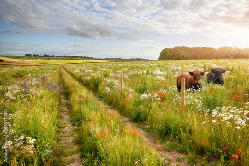 Foto auf Gartenposter Wiesen / Sumpfe Flower meadow tracks and two cows