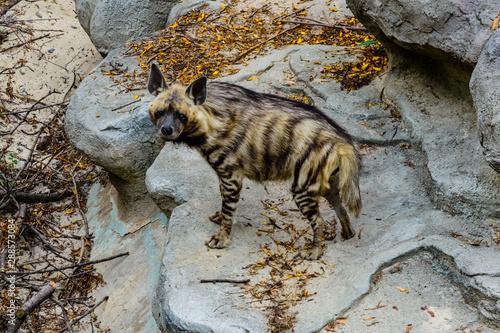 Foto auf AluDibond Hyane Striped hyena (Hyaena hyaena) on the stone