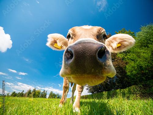 Aluminium Prints Cow Cow in German alps (Allgäu)