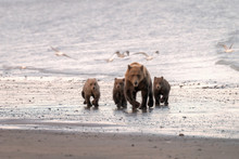 Mother Bear And Three Cubs Walking Down The Beach In The Rain While Sea Gulls Fly Around Them.  Image Taken In Lake Clark National Park And Preserve, Alaska.