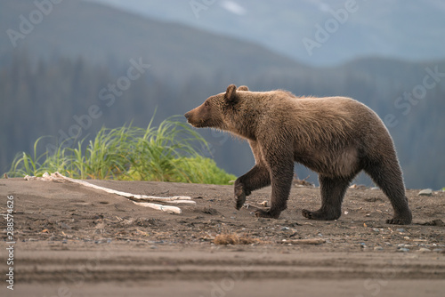 Grizzly bear walking on the beach with a pine forest and mountains in the background.  Image taken in Lake Clark National Park, Alaska.