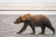 Adult Grizzly Walking On The Beach In The Rain.  Image Taken In Lake Clark National Park And Preserve, Alaska.