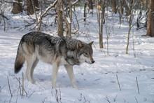 Gray Wolf Walking Through A Fo...