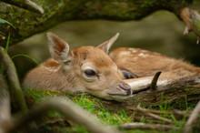 Adorable Fallow Deer Fawn. Closeup Head Of Newborn Baby Animal.