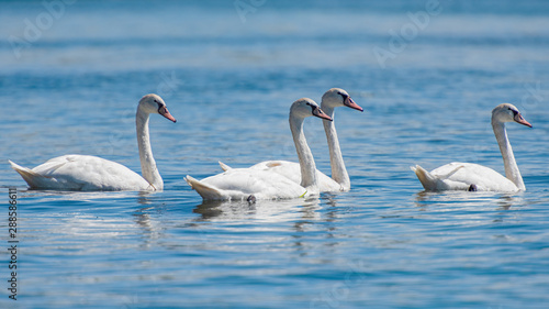 Cygne White swans swimming in the river