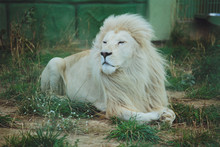 Cute Beautiful White Lion Lies On The Nature In The Grass.