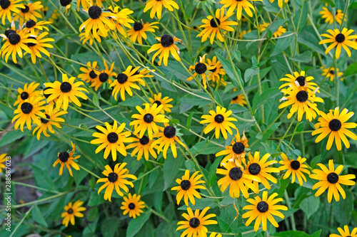 Lots of beautiful blackeyed Susan on the flower bed Fototapet