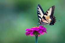 Zebra Swallowtail Butterly