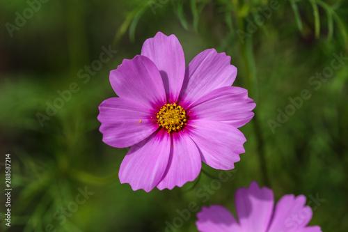 single purple cosmo in summer