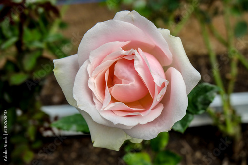 Beautiful close up soft pink rose flower