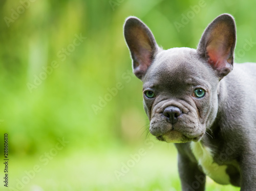 Foto auf Leinwand Französisch bulldog a very young french bulldog sits in a garden in front of green background