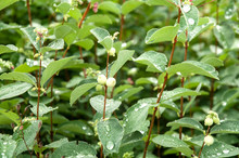 Rain Drops On Leaves Of A Snowberry Shrub