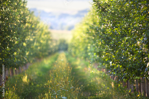 Orchard of ripe apples at sunset Fototapeta