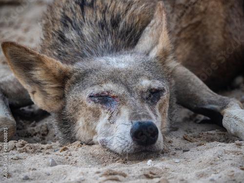 Arabian wolf resting in the heat, Bahrain Wallpaper Mural