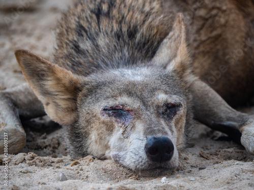 Photo  Arabian wolf resting in the heat, Bahrain