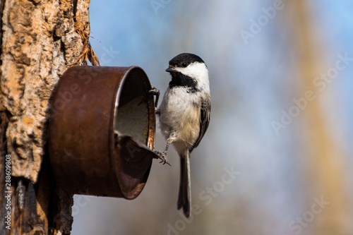 Fotografía  Black-Capped Chickadee