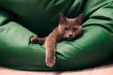 Young British Blue Shorthair C...