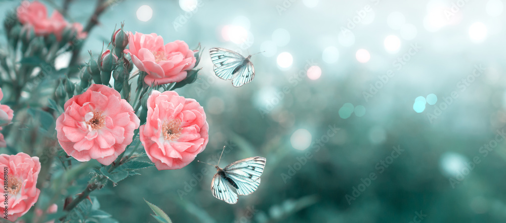 Fototapeta Mysterious spring floral banner with blooming rose flowers and flying butterflies on blurred background in soft pastel colors and shiny glowing bokeh