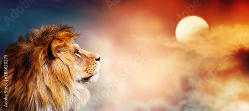 Fototapeta African lion and sunset in Africa. Savannah landscape theme, king of animals. Spectacular warm sun light and dramatic red cloudy sky. Proud dreaming fantasy leo in savanna looking forward. obraz