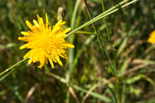 Yellow Flowers Of Sow Thistle (Sonchus Arvensis) On Green Grass Background, Selective Focus