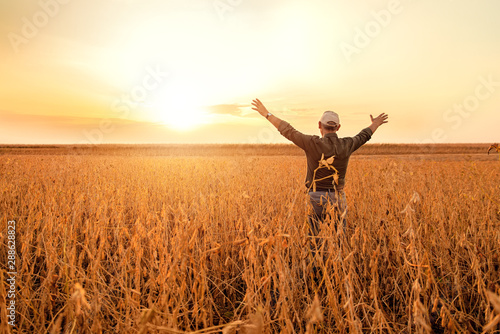 Obraz Rear view of senior farmer standing with his outstretched in soybean field examining crop at sunset. - fototapety do salonu