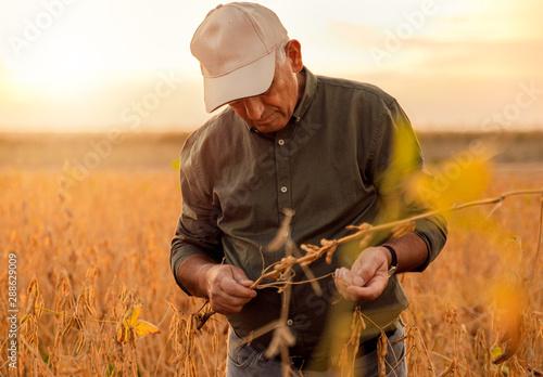 Obraz Senior farmer standing in soybean field examining crop at sunset. - fototapety do salonu