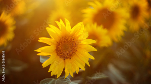 In de dag Zonnebloem Sunflowers in sun close up with soft focus. Country field natural background. Sunflower blooming. Sunset above orange flowers. Nice harvest at autumn. Vibrant summer image.