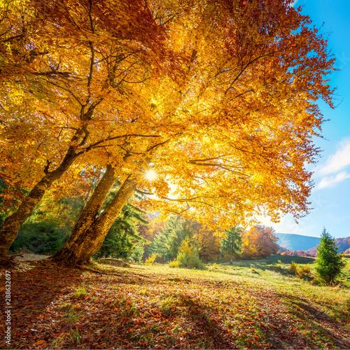 Photo sur Aluminium Route dans la forêt Beautiful tall tree with golden leaves - amazing autumn landscape