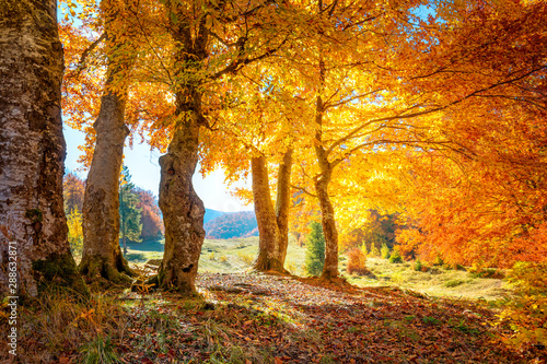 Fototapety, obrazy: Autumn in a forest - colorful leaves and big trees