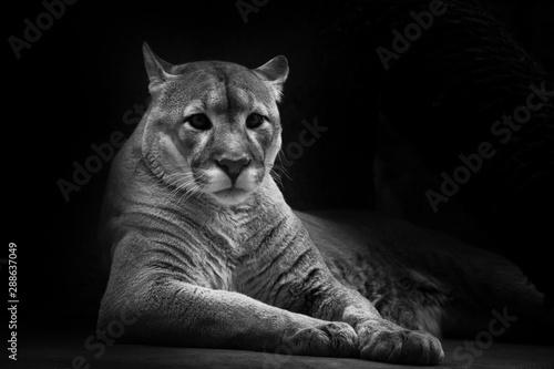 Poster Puma Cougar beautifully lies on a dark background, a powerful predatory big cat