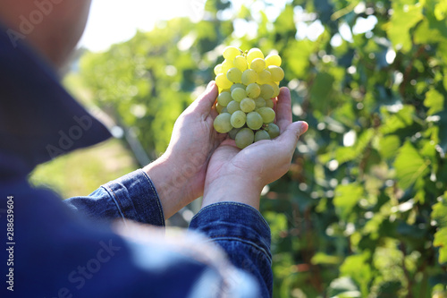 Foto auf Leinwand Dunkelbraun Vintage, a man gathers ripe bunches of grapes.