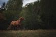 Portrait Pferd galoppiert rennt steht auf weide wiese im Wald im Herbst