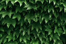 Boston Ivy And Ivy Leaves Back...