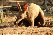 A Lonely Aardvark During The Day